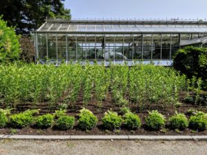 Here is one of my newest gardens at the farm - my lily and hosta bed in front of the main greenhouse. It will soon have many beautiful white lilies in bloom. Now that it is dry and warm, we have to do lots of watering to keep all the gardens looking their best. Fortunately, I have two deep wells – all of the hoses and bibs are connected to an elaborate underground irrigation system.