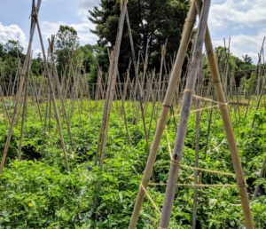 We have more than 140 tomato plants this year. These plants look so much better when kept upright and neat. The tomato plants have a lot of room to climb, keeping delicious fruits off the ground.