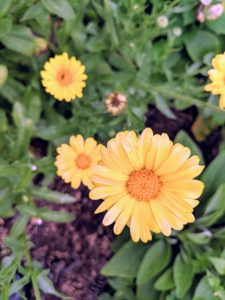 Like most herbs, calendulas are adaptable and do not require a lot of maintenance. They can be grown in containers or in the garden bed with full sun to shade conditions.