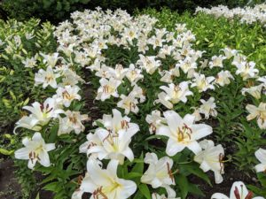 And here is a photo from last week. Oriental lilies are known for their fragrant perfume and gorgeous blooms. These lilies have a fast growth rate and should be planted in full sun in well-drained loamy or sandy soil.