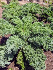 And look at all the kale. One cup of chopped kale has 134-percent of the recommended daily intake of vitamin-C – that's more than a medium orange, which only has 113-percent of the daily C requirement.