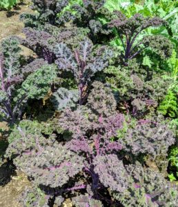 Here is more kale - very pretty with ruffled leaves and a purple-green color.