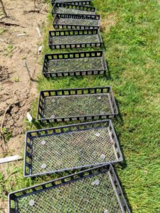 We use individual plastic trays, so the varieties can be kept separate for identification. We planted 28 varieties of garlic last autumn.