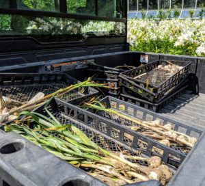 Once it is all picked, the garlic is placed in the back of our Polaris Ranger ready to transport to my carport, where they can cure for a few weeks.