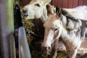 Here are Billie and Clive, two of my five donkeys, eating and watching the activity from their stall. (Photo by Paytn Leigh)
