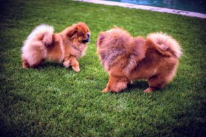 Here are my beautiful Chow Chows, Empress Qin and Emperor Han - just before a game of chase. (Photo by Peytn Leigh)