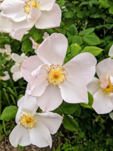Many of the cultivars were transplanted from the gardens at Lily Pond, my home in East Hampton, and all but a handful have not only survived through the years but thrived.