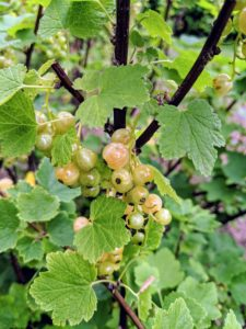 Here are some of the clustered white currants. I grow white, red, pink, and black currant varieties.