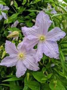 Some clematis cultivars will bloom in partial shade, but to really thrive, they need at least six hours of sun each day.