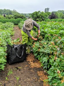 And up the carriage road, more deadheading is in progress. Here's Dawa deadheading the many peonies that have now faded.