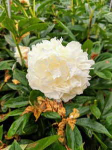 This peony flower is still hanging on - such a gorgeous white puff. Soon, it will also fade, but next year, we will have even more peonies to admire. What plants have you been deadheading? Share your gardening comments with me - I love hearing from all of you.
