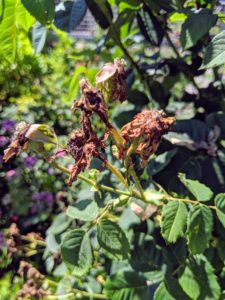 Now, many of the roses have faded and need to be deadheaded. Proper pruning through the year improves the health of the plants, prevents disease, and encourages better flowering.