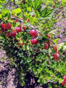 Gooseberries are native to Europe, northwest Africa, and all regions of Asia except for the north. Gooseberries grow best in areas with cold, freezing winters and humid summers.