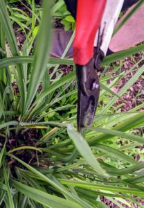 When deadheading irises, Ryan cuts back the stem near its base using sharp secateurs. The foliage remains - only remove the foliage if it's damaged or dead.