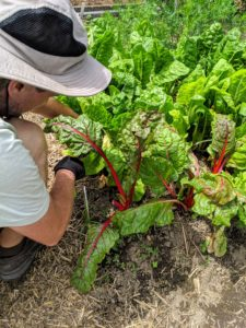 Next, Ryan harvests some of the Swiss chard. Swiss chard is a leafy green vegetable often used in Mediterranean cooking. The leaf stalks are large and vary in color, usually white, yellow, or red. The leaf blade can be green or reddish.