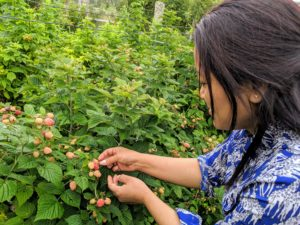 Sanu knows to pick those fruits that are bright red in color - the peach-colored raspberries need a bit more time to ripen. Only ripe berries will come off the stems easily.