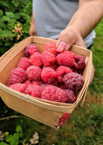 Enma fills another box. Summer-bearing raspberry bushes produce one crop each season. The fruits typically start ripening in late June into July with a crop that lasts about one month. Red raspberries must be picked and handled very carefully and checked for insects and rot. These berries are perfect.