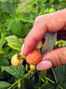 I also grow golden raspberries, Some of the more popular golden raspberry cultivars include 'Fall Gold', 'Anne', 'Goldie', 'Kiwigold', 'Golden Harvest', and 'Honey Queen'.