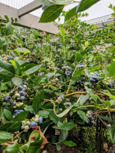 There are full bushes everywhere one turns. Standard blueberry bushes grow about six to 10-feet tall. New shoots grow from the crown under the soil. At the base, blueberry shrubs have multiple canes growing directly out of the soil in clumps. The canes or branches are smooth and thornless.