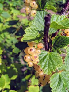 White currants, 'Blanka', are a sub-cultivar of the red currant. White currant berries are translucent with warm white tones and a slight pink blush color.