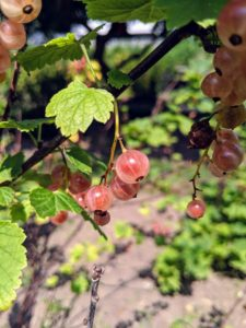 These 'Pink Champagne' currants are pendant clusters of fruits the color of champagne blushed with pink. These currants are less tart than the red and among the sweetest of all currants.