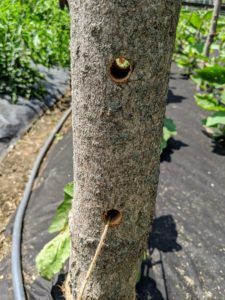 The holes all face across the beds width-wise. Chhiring secures four upright wooden supports along each row of plants and then threads the twine through the holes, starting at the bottom.