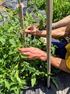Securing the tomato plants is a time-consuming process, but very crucial to good plant growth and performance.