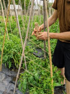 The plants will grow through the center and cling to the stakes. If needed, Gavin and Ryan will gently tie more of the vines to the uprights as they develop.