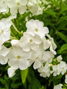 Phlox has superb heat and mildew resistance. This is a tall and upright grower that's great for the back of the border, or even planted at the edge of the garden among the shrubs. Phlox also comes in a range of colors from pure white to lavender to even red and grows happily in most parts of the country. If properly planted and sited, phlox is largely pest and disease free too – a perfect perennial.