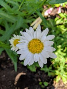 Shasta daisy flowers provide perky summer blooms, offering the look of the traditional daisy along with evergreen foliage. They are low maintenance and great for filling in bare spots in the landscape.