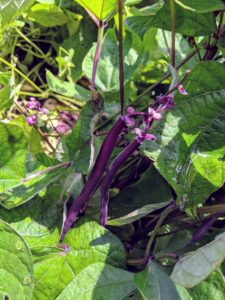 These beans are gorgeous. Violet-purple outside and bright green inside with great flavor. The six-inch-long pods turn green after cooking, providing a built-in blanching indicator.