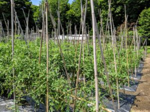 The vines are all growing so nicely on their bamboo supports - we will have an abundant amount of tomatoes very soon.