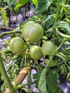 Lots of tomatoes are developing on the vines, but they're not ready just yet – they still need a few more weeks.