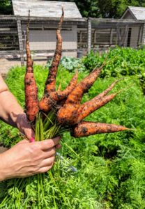 We also picked lots of carrots. I always like to grow many varieties and colors of carrots! Most are familiar with the orange carrots, but they also come in red, yellow, white and purple.