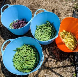 Enma and Sanu separated the beans by color variety - we will have a lot of delicious, organic beans up at Skylands.