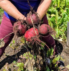 Beets – the beetroot is the taproot of the beet plant, and is often called the table beet, garden beet, red or golden beet or simply… beet.