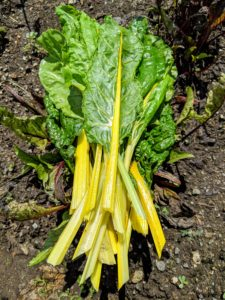 Swiss chard is a leafy green vegetable often used in Mediterranean cooking. The leaf stalks are large and vary in color, usually white, yellow, or red. The leaf blade can be green or reddish in color. Harvest Swiss chard when the leaves are tender and big enough to eat. Cut chard leaf by leaf, so the plant can continue to grow new leaves during the rest of the season.