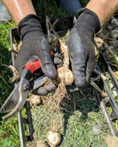 As each garlic head is removed from the soil, Ryan brushes off any debris and dirt from the bulb and the roots.