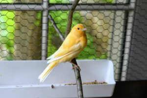 Here is one beautiful bright colored canary resting on this branch we collected from outside. I find canaries to be so photogenic no matter what they're doing.