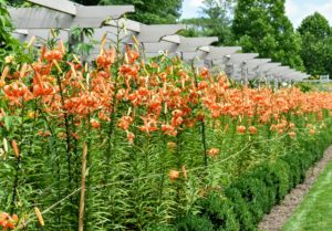 And here is the pergola this week – look at all the gorgeous tiger lilies.