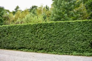 Look at how beautiful the hedge is when finished – and all done completely by hand.