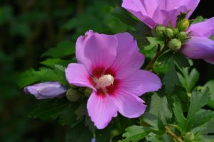 Like other types of hibiscus, its flowers bear a striking stamen - these flowers get many bee visitors.