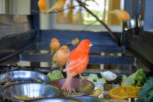 Every morning, the birds are also given a fresh buffet leafy greens and fruits. The birds rush to their food right away.