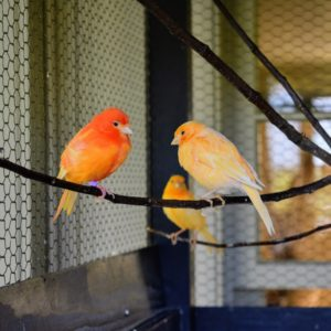 If you choose to keep canaries, be sure to get the largest cage your budget allows, so they have ample room to exercise, spread their wings and perch on different levels and surfaces. These birds need to be able to fly in their environment.