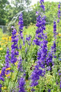 This is larkspur, another flower I love growing. Larkspur is an annual flower that blooms in late spring and goes to seeds around the middle of July. With airy stalks of blue blossoms, larkspur adds a gracefulness to any garden.