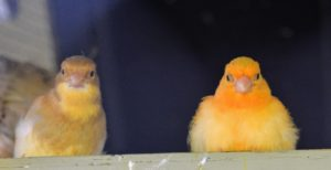 Canaries make wonderful companions and pets - easy to care for and full of personality. What pets share your home? Please comment below.