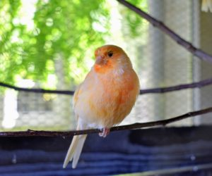 When first hatched, canaries are pale yellow-peach or orange. As they grow, they develop more red coloring from the beta carotene in their foods. On this canary, you can see three pretty color shades – peach, red and orange.