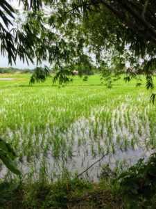 This side is all planted. In the Philippines, the wet-season rice crop in the north lasts from June to November and the dry-season crop is from January to May.
