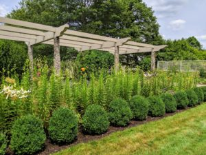 In early July, this pergola is filled with waist-high lily stems.