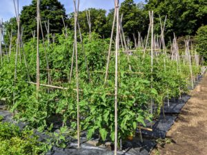 All the tomato plants are well-supported under bamboo teepee-like structures and now laden with fruits.